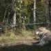 Le loup... bien calme!