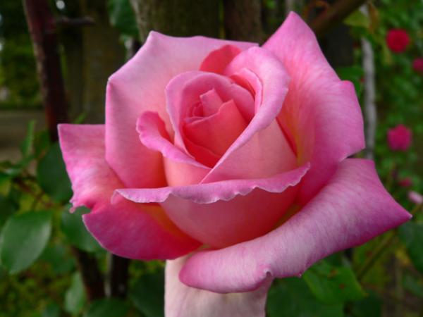 Rose... rose....