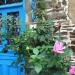 Roses d'automne annoncé