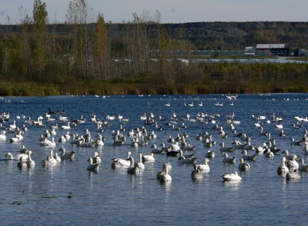 Les oies blanches du Québec