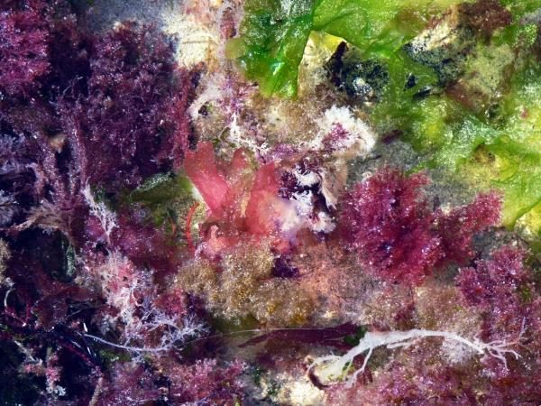 Les algues malouines-2