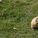La marmotte québécoise