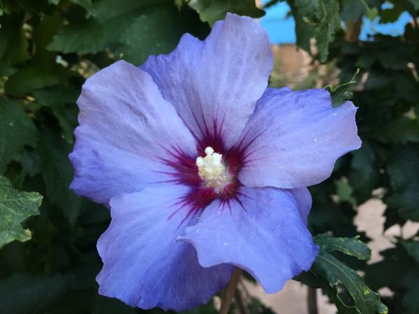 Hibiscus althea, dans mon jardin