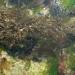 Algues malouines