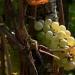 Raisins bretons
